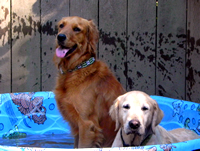 Dogs love cooling off in the pool.